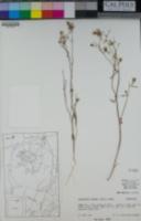 Malacothrix sonorae image