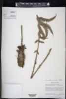 Amauropelta corazonensis image