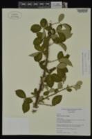 Image of Rubus pascuus