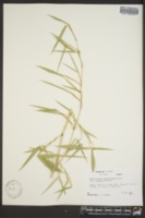 Image of Phyllostachys heteroclada