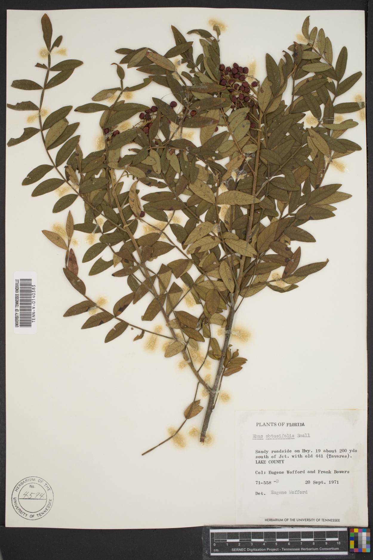 Rhus obtusifolia image