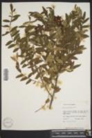 Image of Rhus obtusifolia