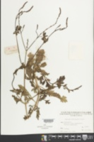 Verbena officinalis image