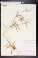 Image of Panicum malacon
