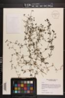 Galium tinctorium var. floridanum image