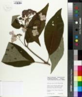 Image of Hydrangea aspera
