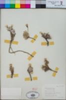 Raillardella argentea image