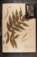 Carya aquatica image