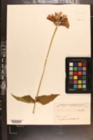 Zinnia violacea image
