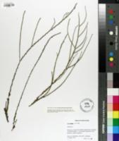 Image of Eurybia avita