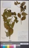 Colubrina asiatica image