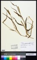 Setaria verticillata image