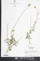 Image of Ageratum tomentosum