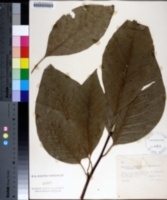 Magnolia acuminata image