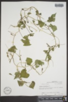 Ipomoea trichocarpa image