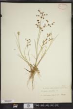Juncus articulatus image