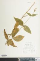 Image of Silene ovata