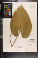 Silphium terebinthinaceum image