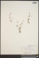 Houstonia coerulea image