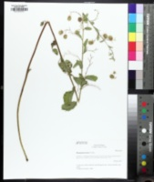 Image of Hermannia texana