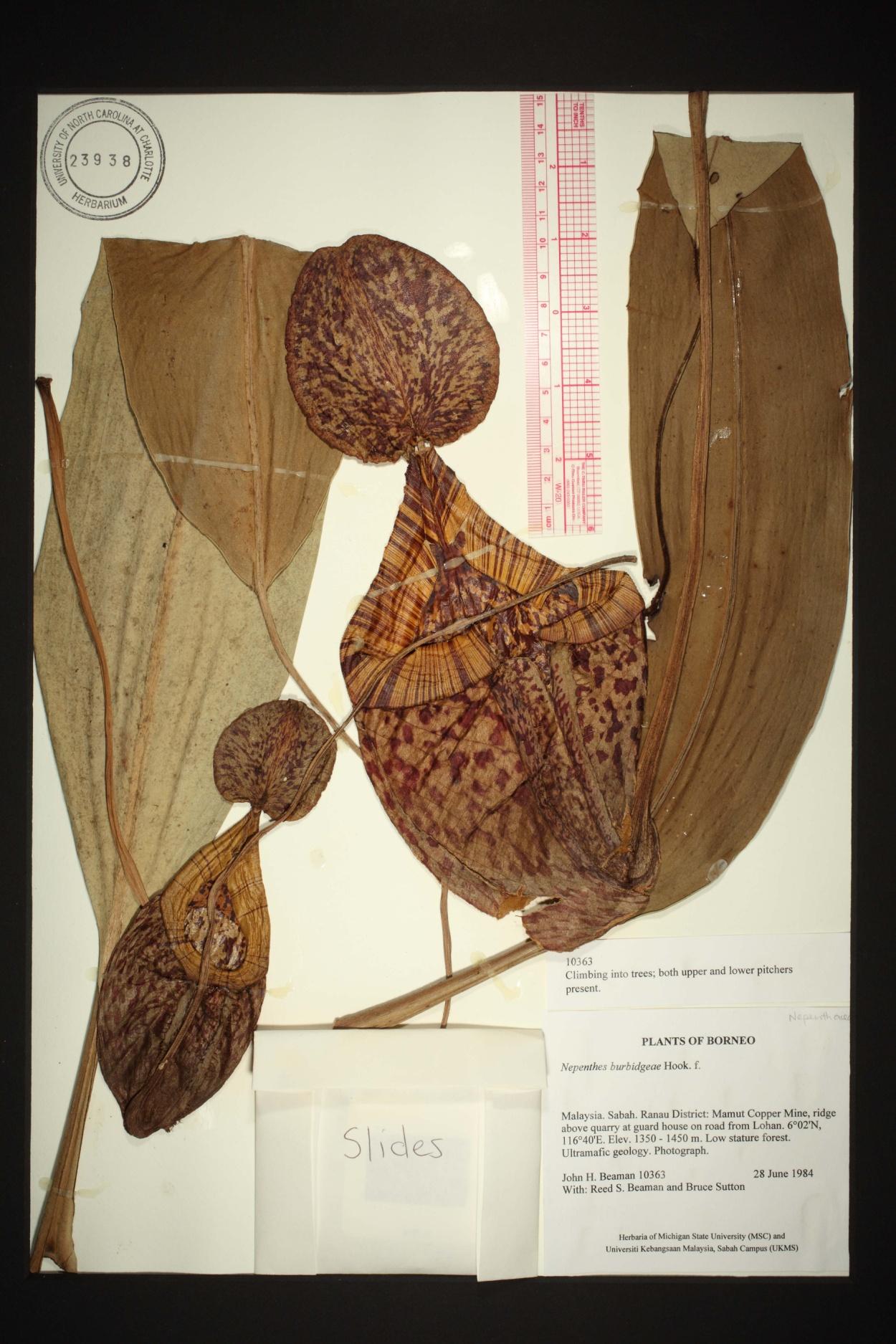 Nepenthes burbidgeae image