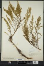 Artemisia campestris subsp. caudata image