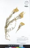 Ericameria nauseosa var. speciosa image
