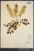 Robinia pseudo-acacia image