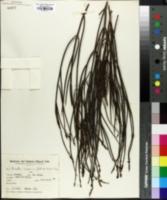 Image of Mulguraea scoparia