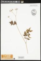 Aralia hispida image