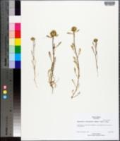 Image of Navarretia cotulifolia