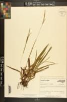 Paspalum setaceum var. muhlenbergii image