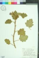 Image of Solanum campanulatum