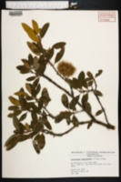 Image of Castanopsis sempervirens