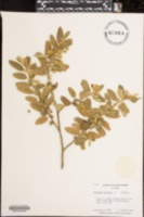 Image of Corchorus hirsutus