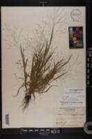 Panicum capillare var. sylvaticum image