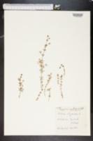 Image of Galium uliginosum