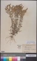 Image of Gamochaeta calviceps