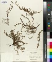 Image of Allocarya trachycarpa