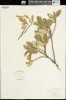Salix vestita image