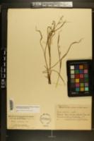 Carex collinsii image