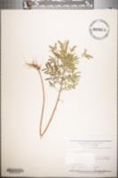 Image of Ambrosia artemisiaefolia