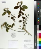 Image of Reinwardtia indica