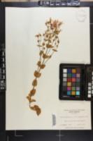 Sabatia angularis image