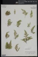 Selaginella novae-hollandiae image