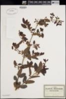 Bumelia peninsularis image