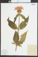 Monarda didyma image