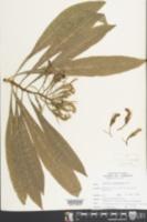 Image of Lobelia acuminata