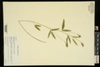 Orbexilum pedunculatum var. pedunculatum image