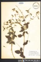 Image of Desmodium dillenii